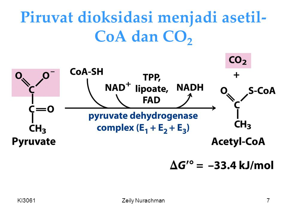 Piruvat dioksidasi menjadi asetil-CoA dan CO2