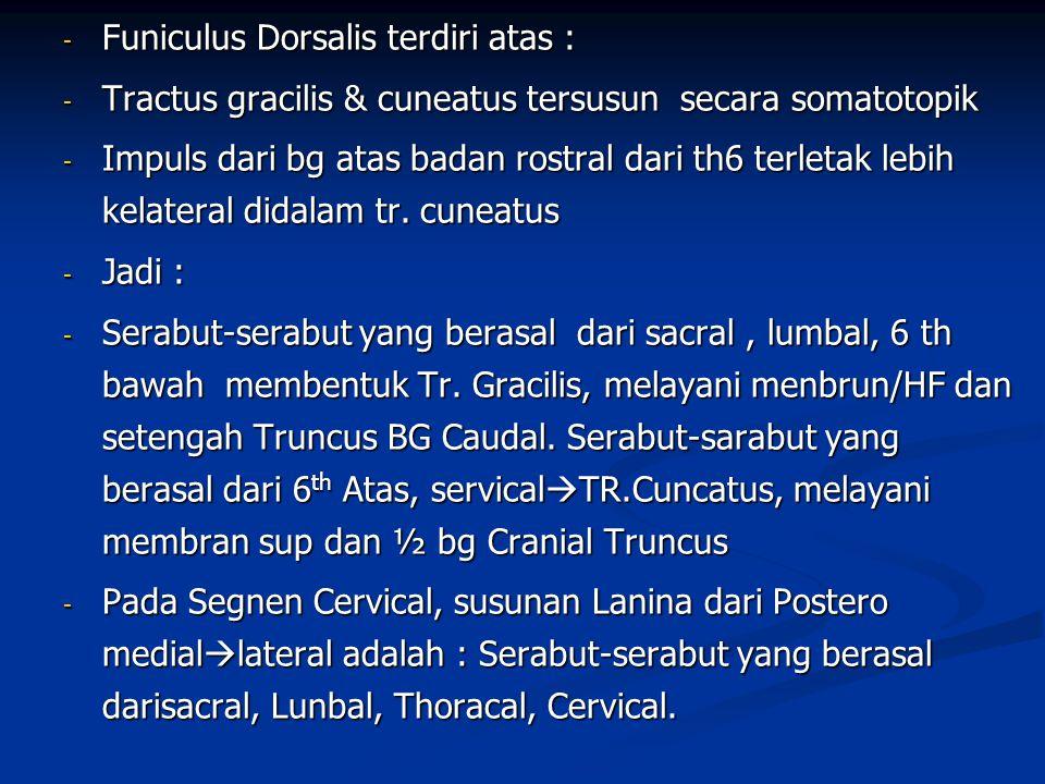 Funiculus Dorsalis terdiri atas :