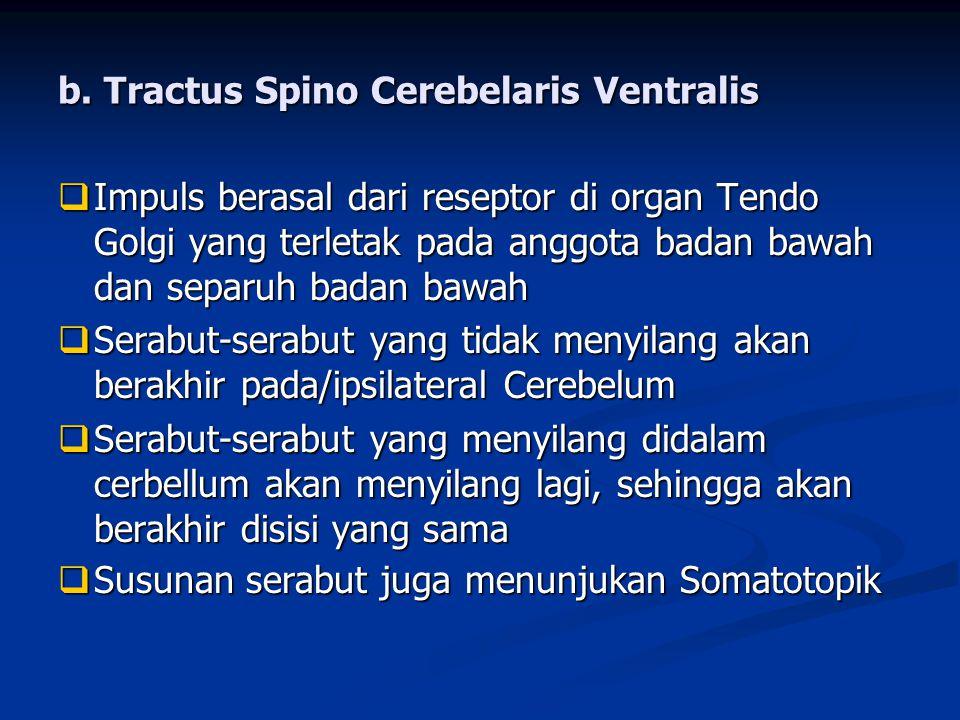 b. Tractus Spino Cerebelaris Ventralis