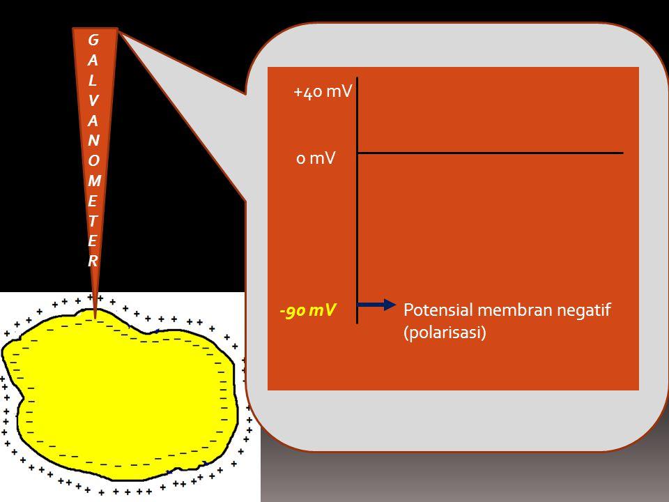 Potensial membran negatif (polarisasi) -90 mV 0 mV +40 mV