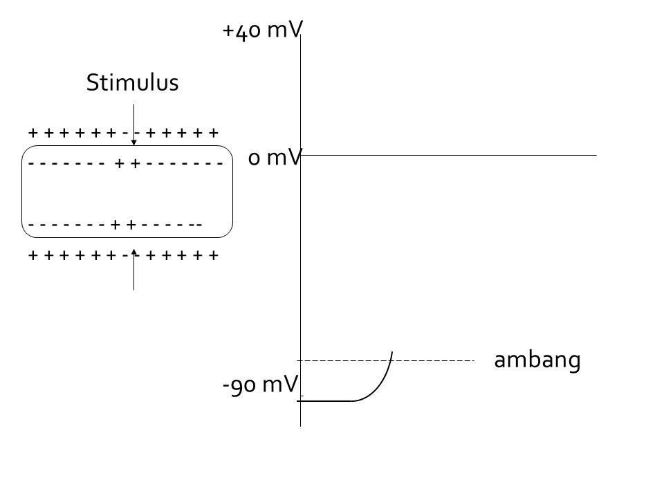 +40 mV Stimulus 0 mV ambang -90 mV + + + + + + - - + + + + +
