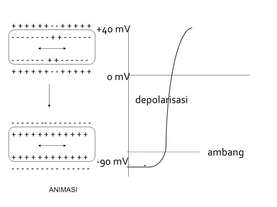 +40 mV 0 mV depolarisasi ambang -90 mV + + + + + + - - + + + + +