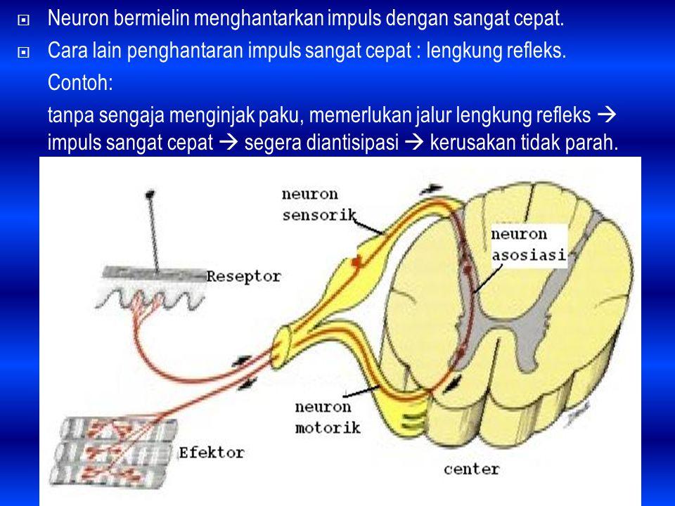 Neuron bermielin menghantarkan impuls dengan sangat cepat.