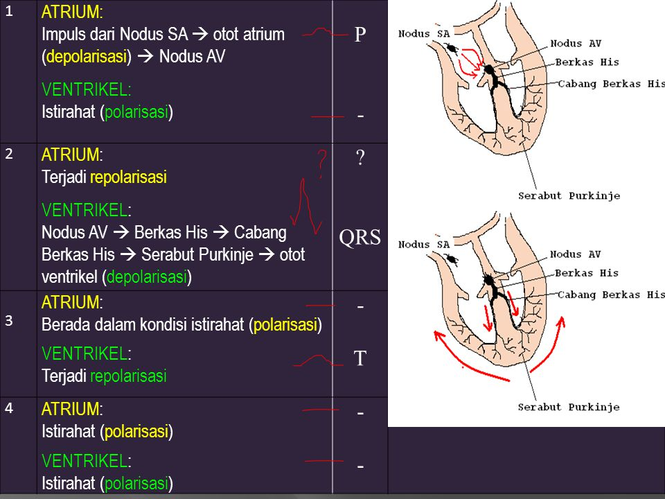 1 ATRIUM: Impuls dari Nodus SA  otot atrium (depolarisasi)  Nodus AV. VENTRIKEL: Istirahat (polarisasi)