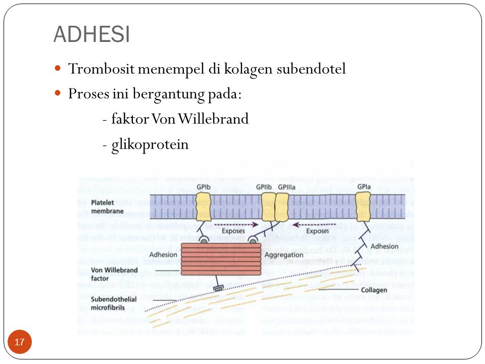 ADHESI Trombosit menempel di kolagen subendotel
