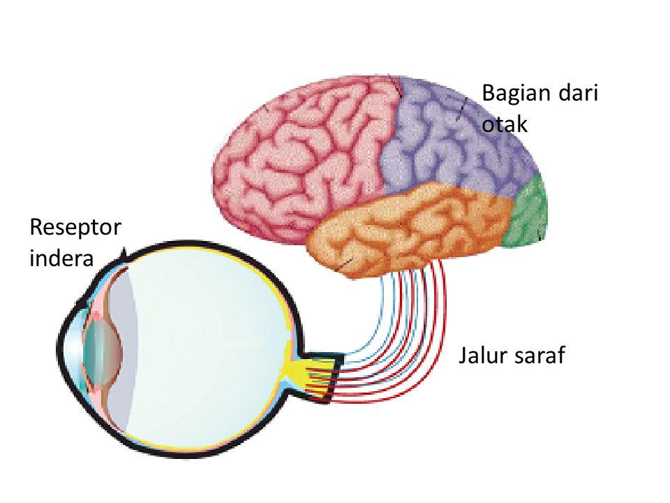 Bagian dari otak Reseptor indera Jalur saraf