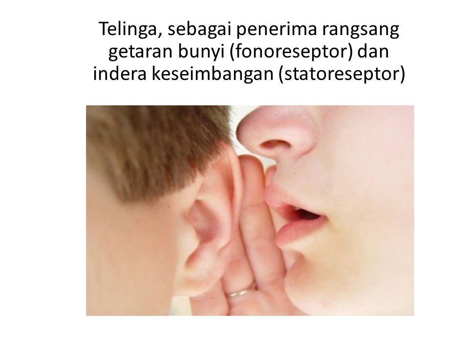 Telinga, sebagai penerima rangsang getaran bunyi (fonoreseptor) dan indera keseimbangan (statoreseptor)