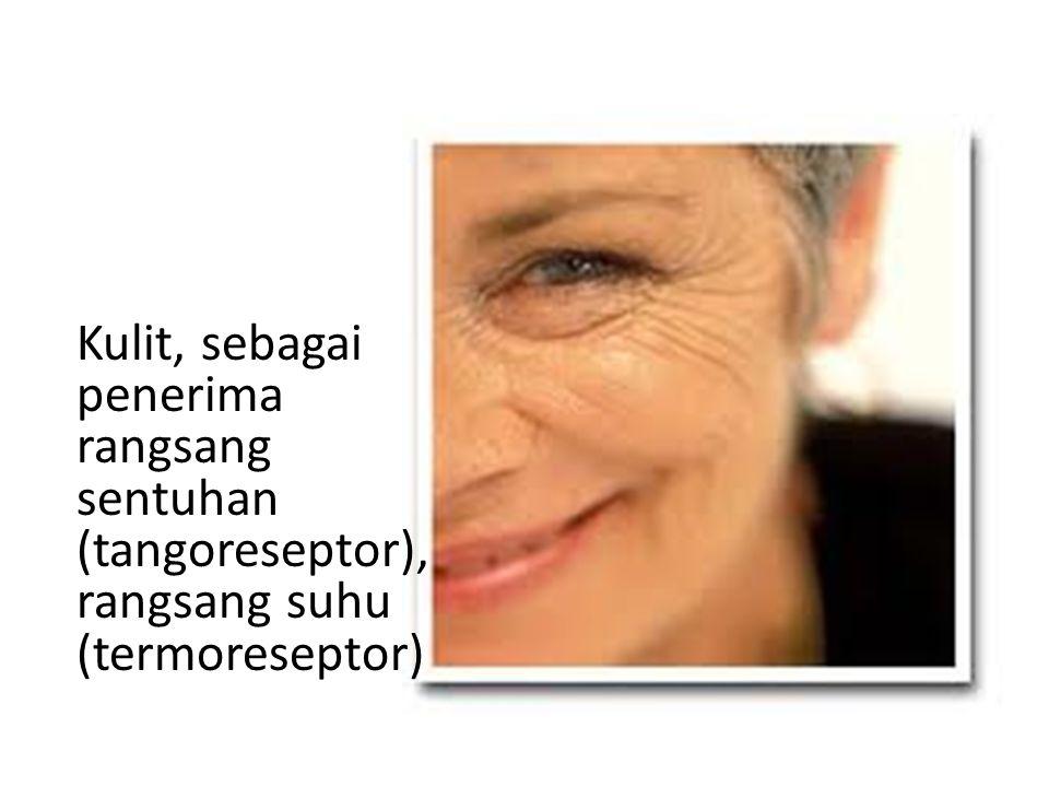 Kulit, sebagai penerima rangsang sentuhan (tangoreseptor), rangsang suhu (termoreseptor)