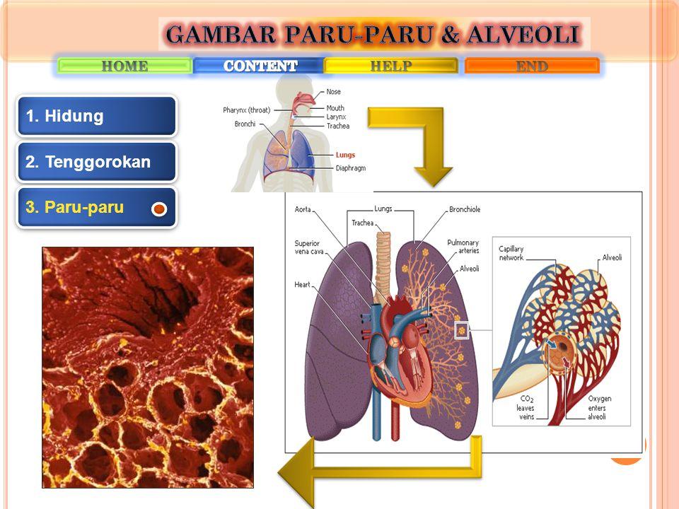 GAMBAR PARU-PARU & ALVEOLI