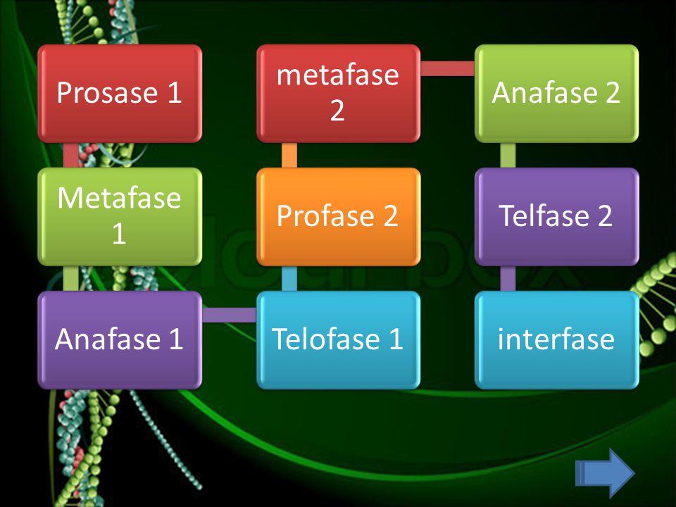 Prosase 1 Metafase 1 Anafase 1 Telofase 1 Profase 2 metafase 2 Anafase 2 Telfase 2 interfase