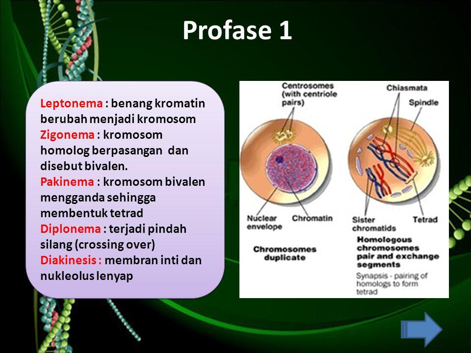 Profase 1 Leptonema : benang kromatin berubah menjadi kromosom