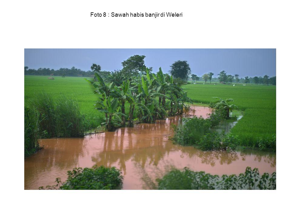 Foto 8 : Sawah habis banjir di Weleri
