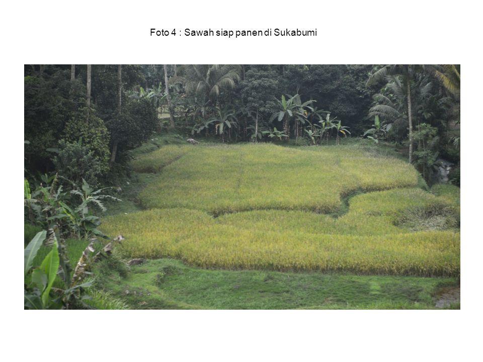Foto 4 : Sawah siap panen di Sukabumi
