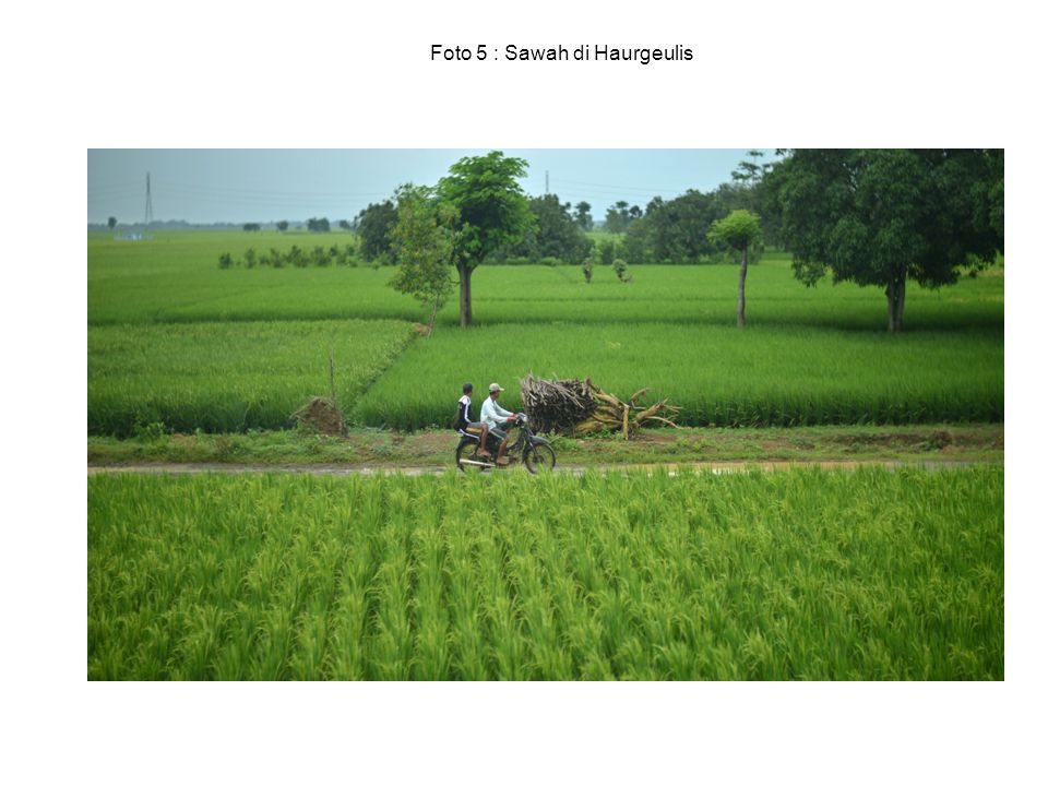Foto 5 : Sawah di Haurgeulis