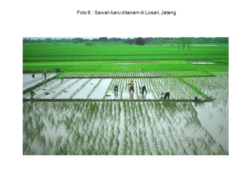 Foto 6 : Sawah baru ditanam di Losari, Jateng