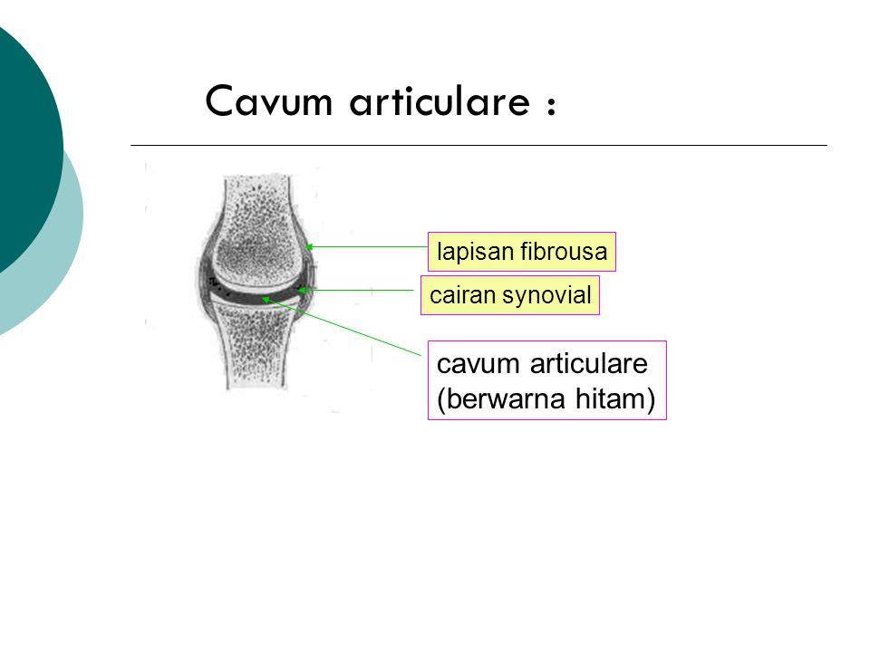 Cavum articulare : cavum articulare (berwarna hitam) lapisan fibrousa