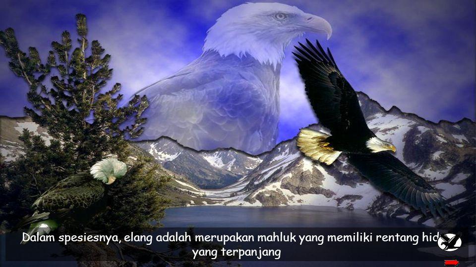 Dalam spesiesnya, elang adalah merupakan mahluk yang memiliki rentang hidup yang terpanjang