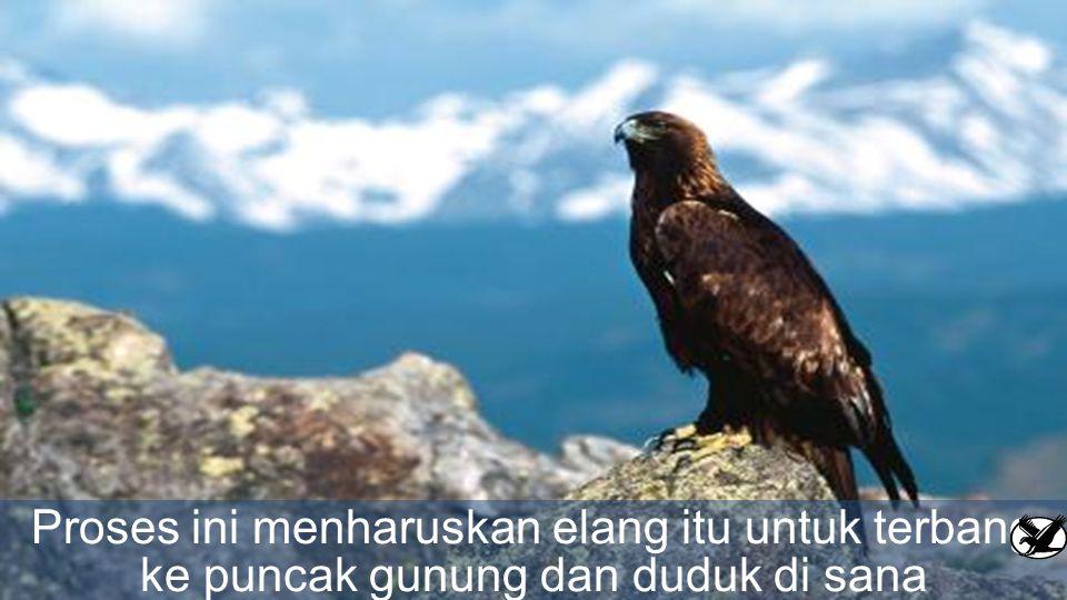 Proses ini menharuskan elang itu untuk terbang ke puncak gunung dan duduk di sana disarangnya