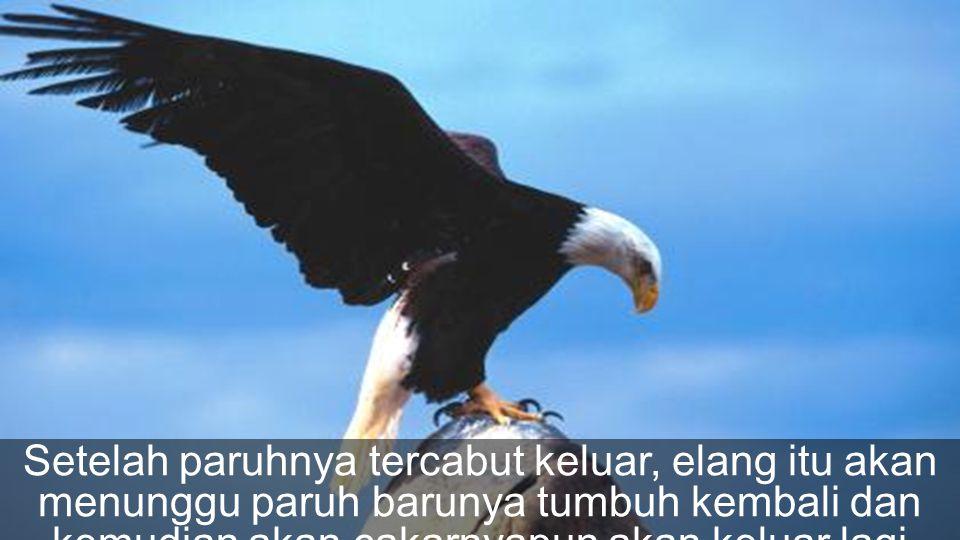 Setelah paruhnya tercabut keluar, elang itu akan menunggu paruh barunya tumbuh kembali dan kemudian akan cakarnyapun akan keluar lagi