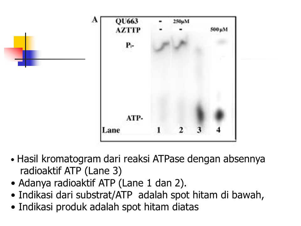 Adanya radioaktif ATP (Lane 1 dan 2).