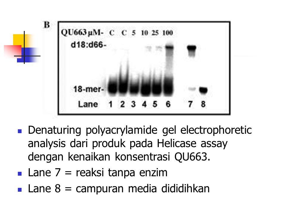 Denaturing polyacrylamide gel electrophoretic analysis dari produk pada Helicase assay dengan kenaikan konsentrasi QU663.