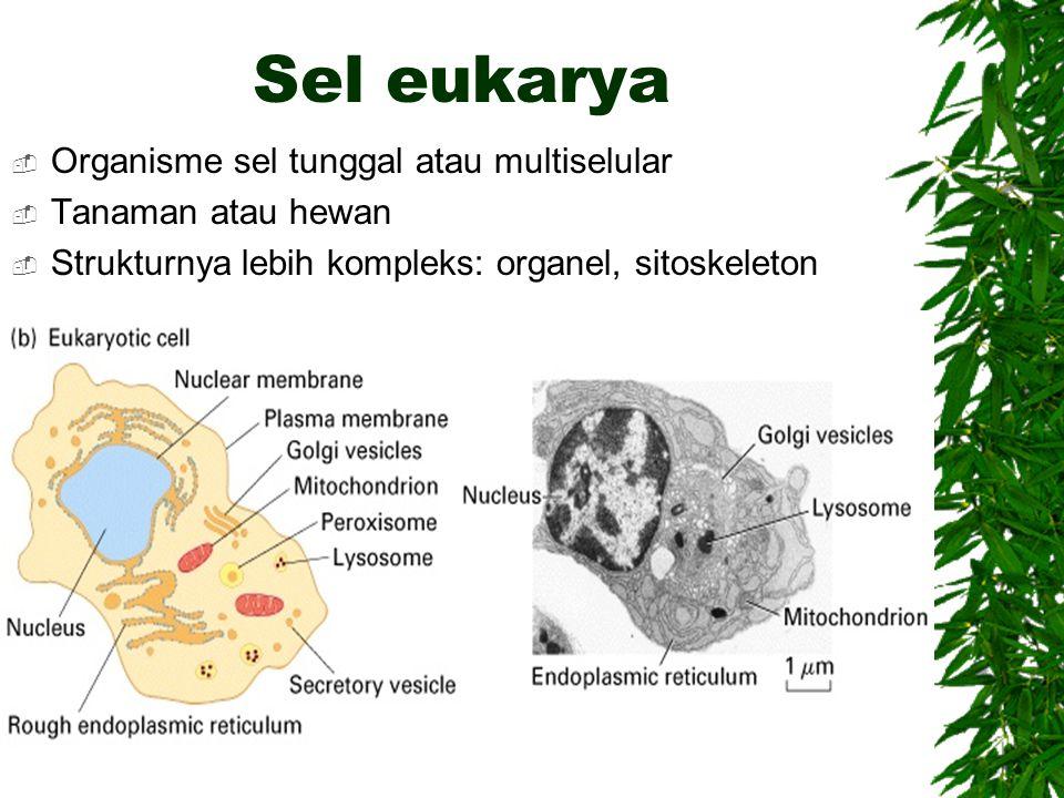 Sel eukarya Organisme sel tunggal atau multiselular Tanaman atau hewan
