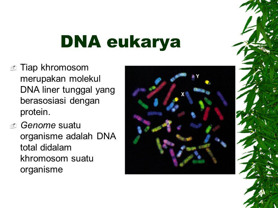 DNA eukarya Tiap khromosom merupakan molekul DNA liner tunggal yang berasosiasi dengan protein.
