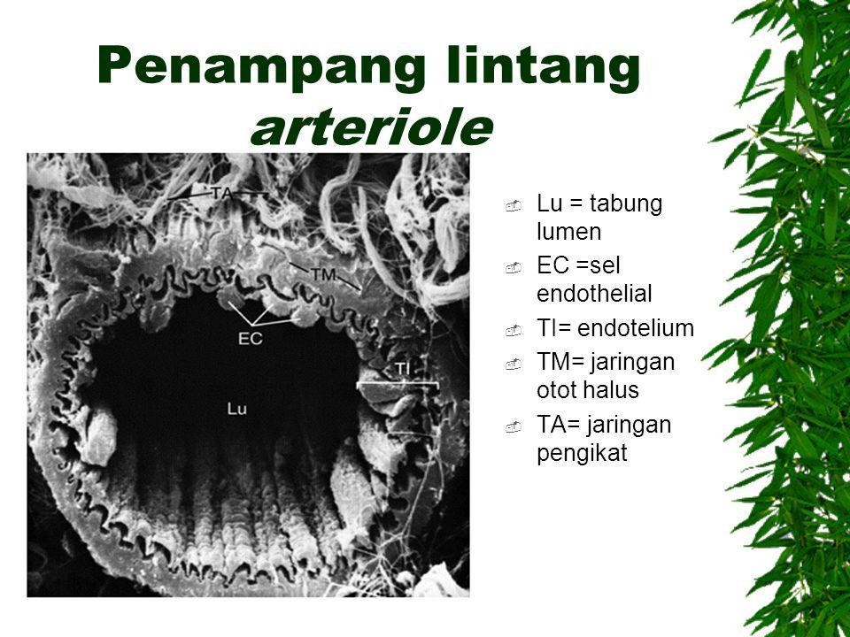 Penampang lintang arteriole