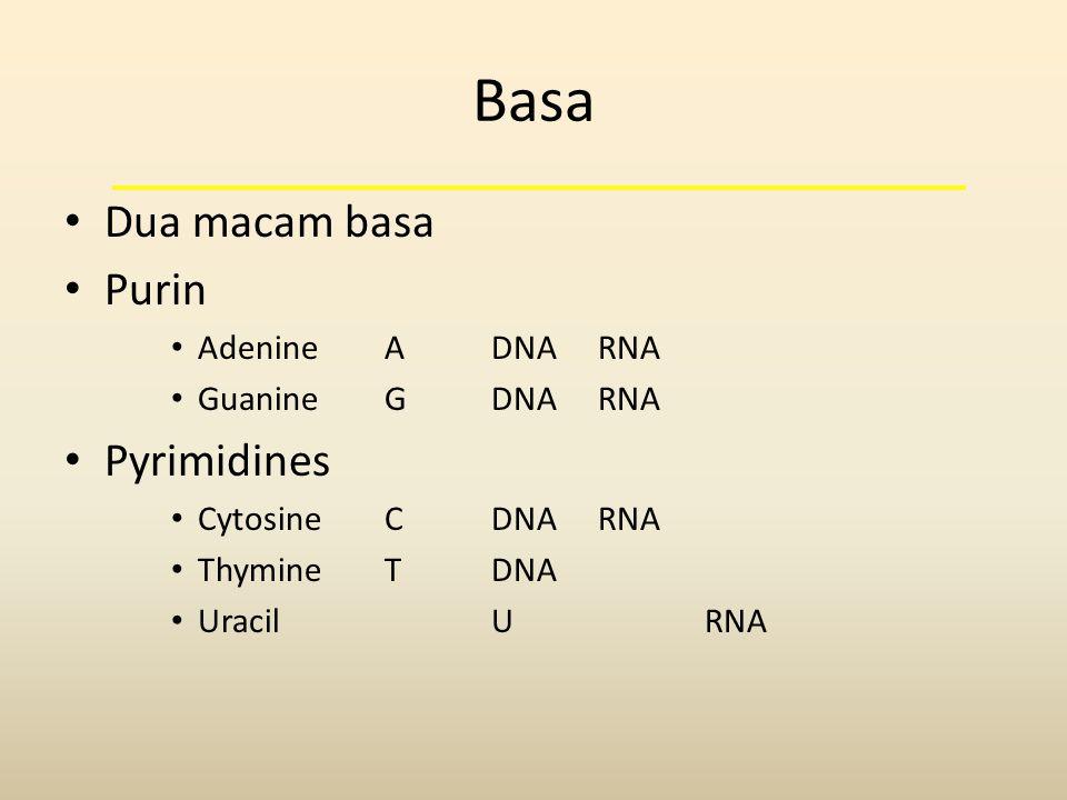 Basa Dua macam basa Purin Pyrimidines Adenine A DNA RNA