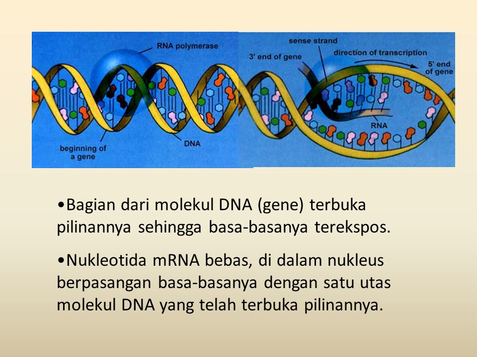 Bagian dari molekul DNA (gene) terbuka pilinannya sehingga basa-basanya terekspos.
