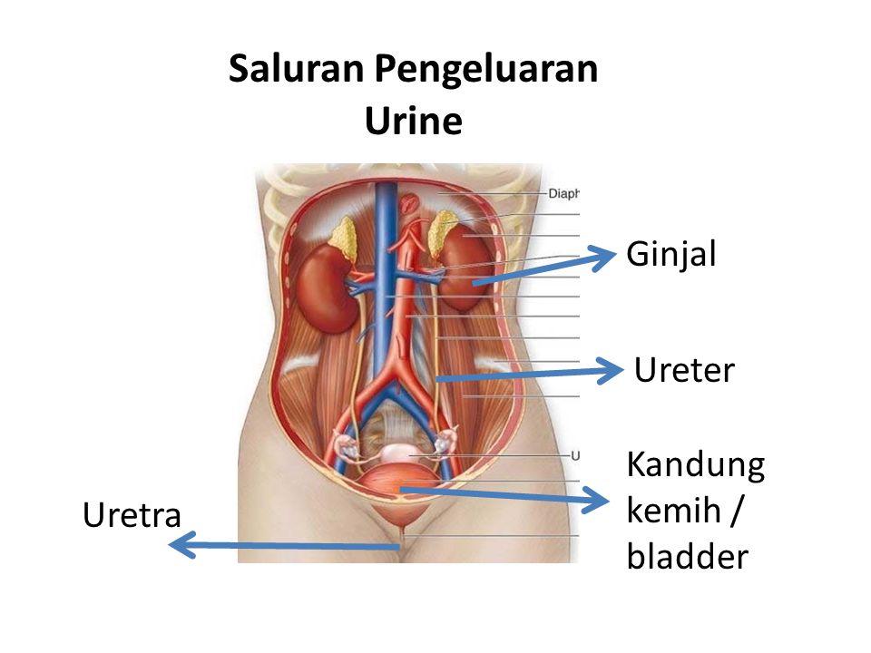 Saluran Pengeluaran Urine