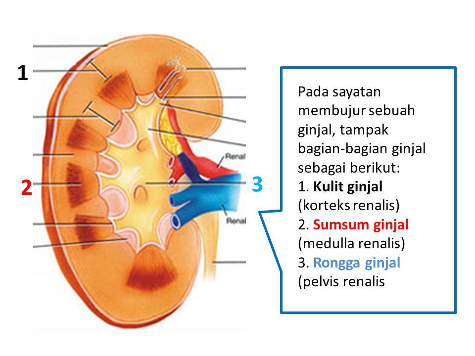 1 Pada sayatan membujur sebuah ginjal, tampak bagian-bagian ginjal sebagai berikut: