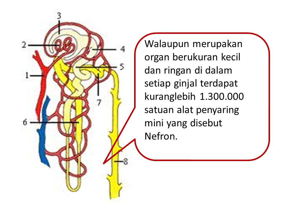 Walaupun merupakan organ berukuran kecil dan ringan di dalam setiap ginjal terdapat kuranglebih 1.300.000 satuan alat penyaring mini yang disebut Nefron.