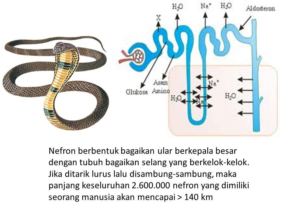 Nefron berbentuk bagaikan ular berkepala besar dengan tubuh bagaikan selang yang berkelok-kelok.
