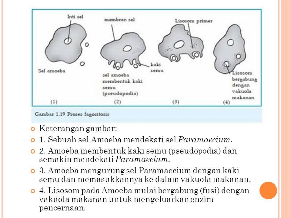 Keterangan gambar: 1. Sebuah sel Amoeba mendekati sel Paramaecium. 2. Amoeba membentuk kaki semu (pseudopodia) dan semakin mendekati Paramaecium.