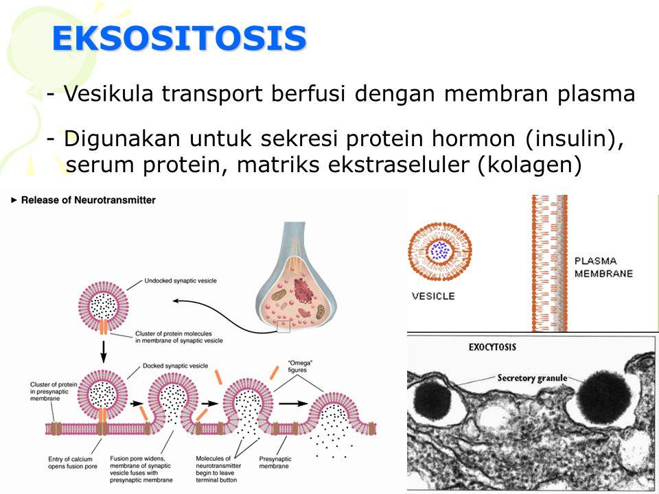 EKSOSITOSIS - Vesikula transport berfusi dengan membran plasma