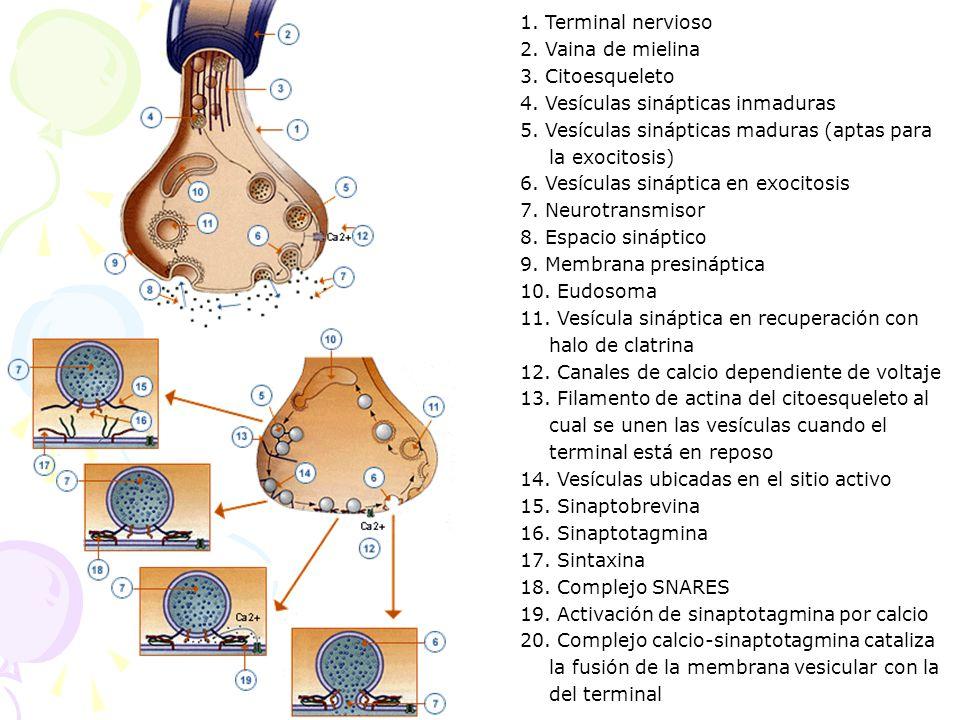 1. Terminal nervioso 2. Vaina de mielina. 3. Citoesqueleto. 4. Vesículas sinápticas inmaduras.