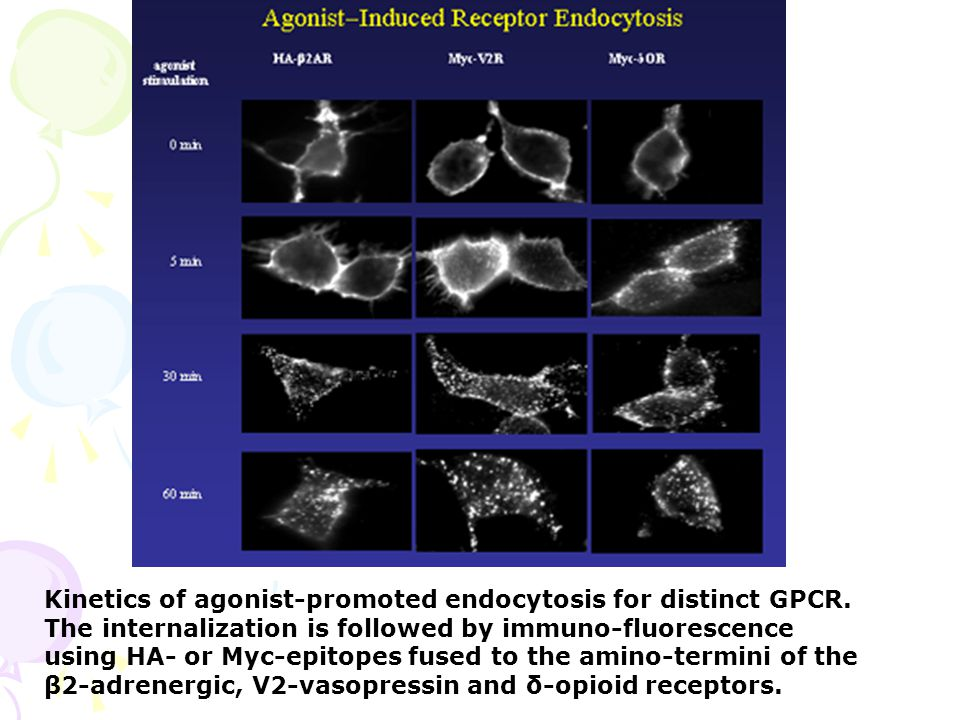 Kinetics of agonist-promoted endocytosis for distinct GPCR