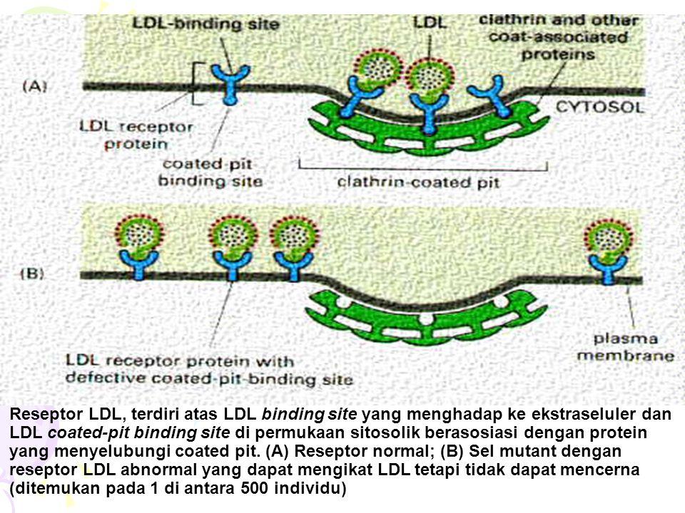 Reseptor LDL, terdiri atas LDL binding site yang menghadap ke ekstraseluler dan LDL coated-pit binding site di permukaan sitosolik berasosiasi dengan protein yang menyelubungi coated pit.