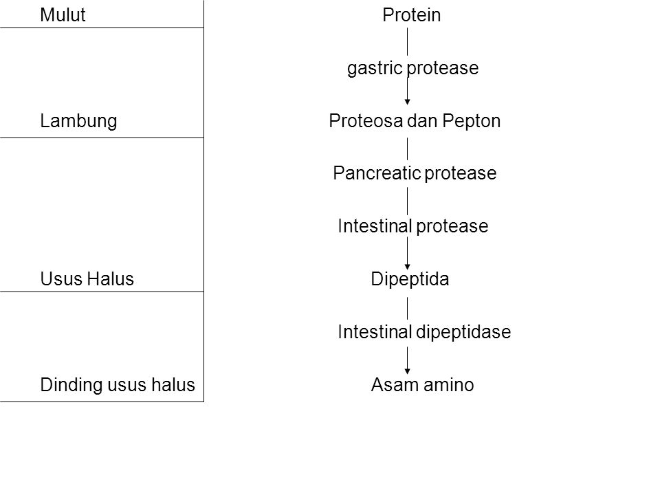 Mulut Protein gastric protease.