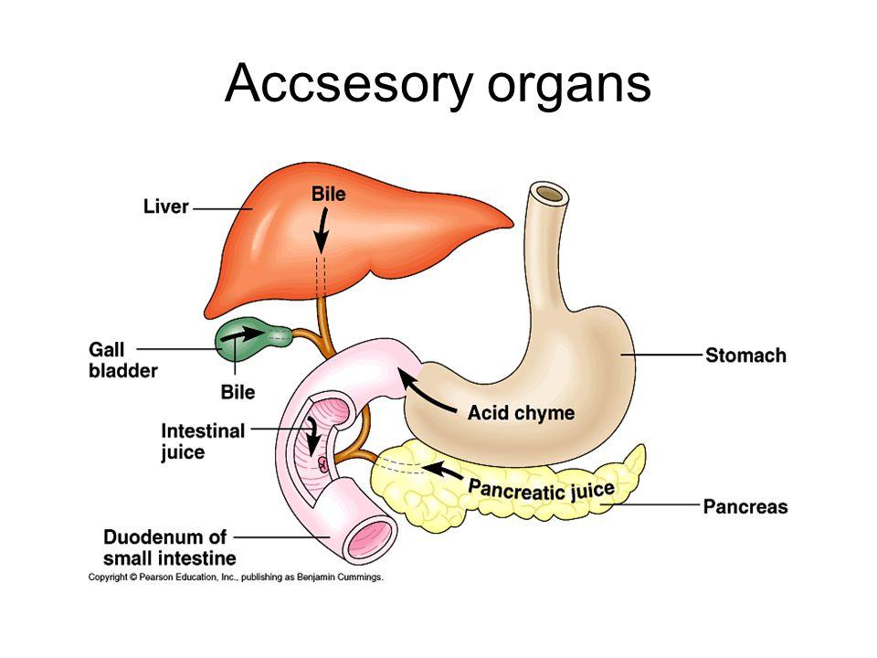 Accsesory organs