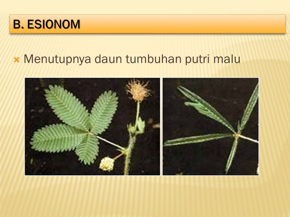 b. ESIONOM Menutupnya daun tumbuhan putri malu