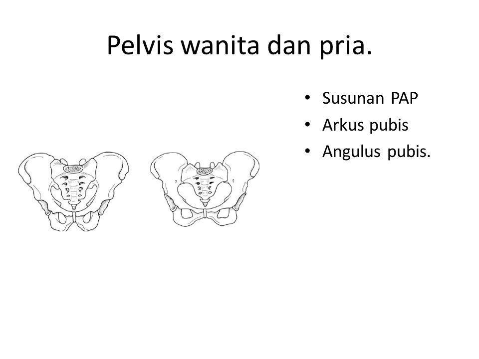 Pelvis wanita dan pria. Susunan PAP Arkus pubis Angulus pubis.