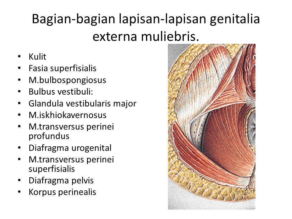 Bagian-bagian lapisan-lapisan genitalia externa muliebris.