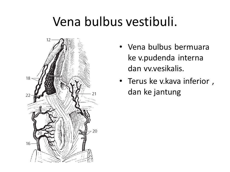 Vena bulbus vestibuli. Vena bulbus bermuara ke v.pudenda interna dan vv.vesikalis.