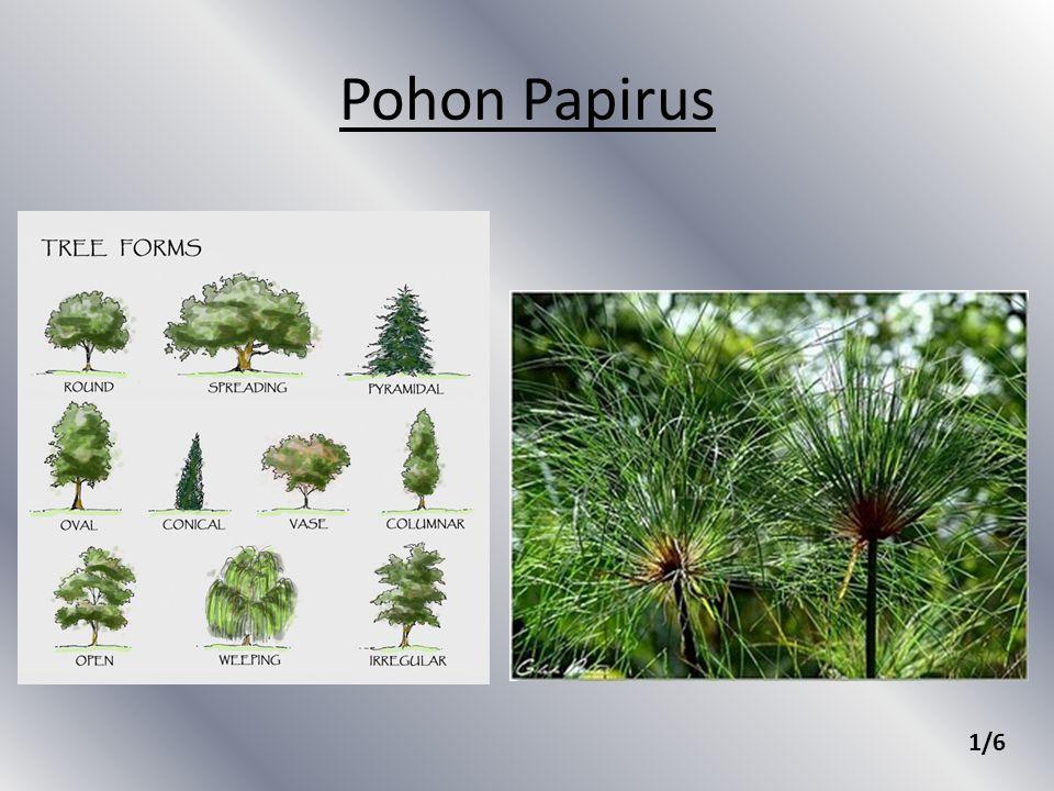 Pohon Papirus 1/6