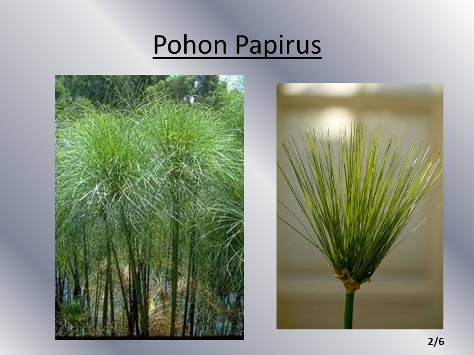Pohon Papirus 2/6