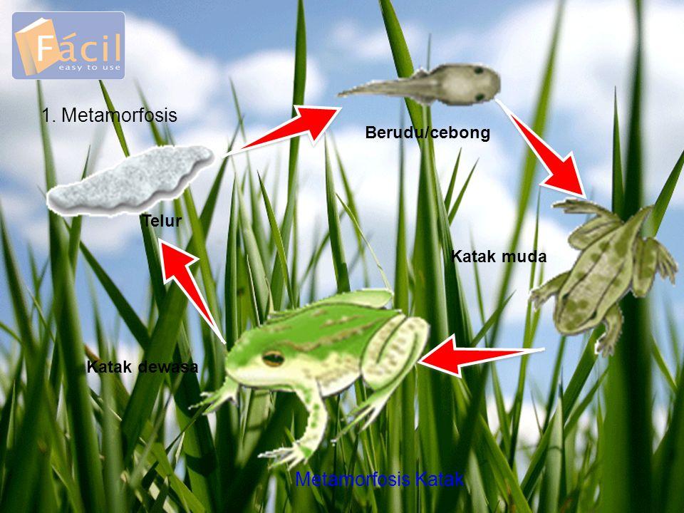 1. Metamorfosis Metamorfosis Katak Berudu/cebong Telur Katak muda