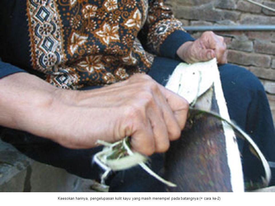 Keesokan harinya, pengelupasan kulit kayu yang masih menempel pada batangnya (= cara ke-2)