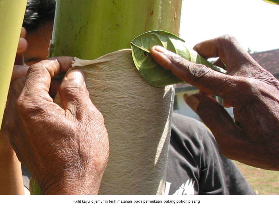 Kulit kayu dijemur di terik matahari pada permukaan batang pohon pisang